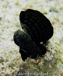 Sailfin Blenny, Culebra, P.R. by Abimael M&#225;rquez 